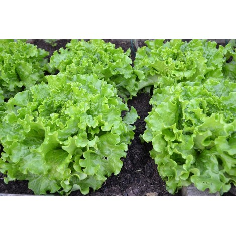 Salade Batavia verte